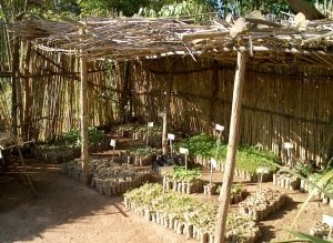 indigenous trees nursery