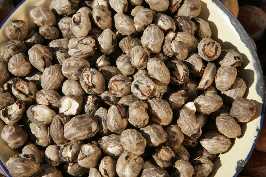 Mongongo Nut or Manketti Tree
